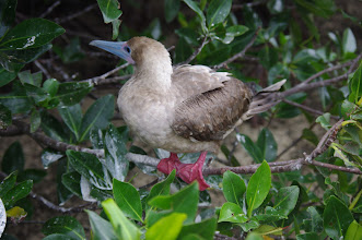 Photo: Red Footed Boobie