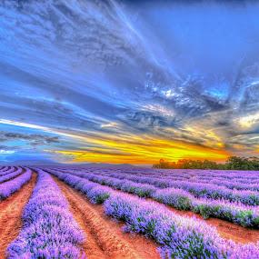 Lavender Sunset by Brent McKee - Landscapes Sunsets & Sunrises ( fuji x, tasmania, hdr, purple, sunset, lavender, bridestowe lavender farm )