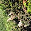 Evergreen bag worm pupae