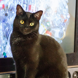 Mister TV by Yves Sansoucy - Animals - Cats Portraits
