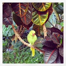 Photo: Beautiful Macaw, Butterfly Gardens, Victoria, BC #intercer #macaw #parrot #britishcolumbia #canada #victoria #bird #tropical #leaves #beautiful #pretty #green #fly #trees #vegetation - via Instagram, http://ift.tt/1GC6g6r
