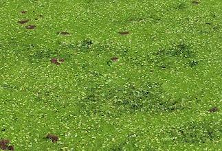 Photo: Duckweed and Azolla Water Fern