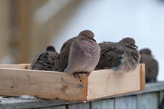Photo: Mourning Doves, Feb 2, 2013
