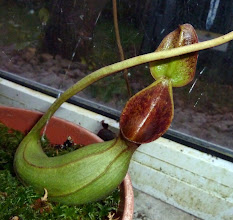 Photo: Nepenthes lowii