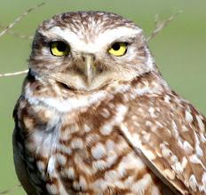 Photo: Burrowing Owl Milpitas, CA.