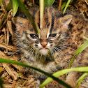 Bornean Leopard Cat