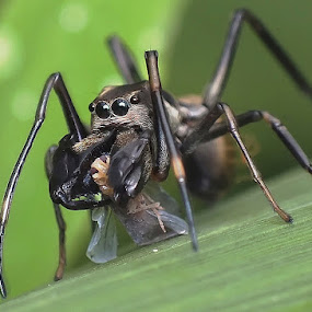 Ant Mimicry Spider by Helnis Susanto Johannis - Animals Insects & Spiders