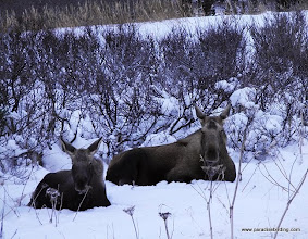 Photo: Mama and baby moose in the hills above Homer