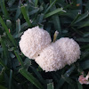 White Coral Slime mold