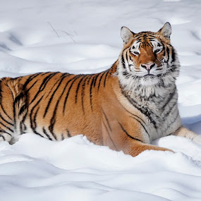 Tiger in the Snow by Jack Nevitt - Animals Lions, Tigers & Big Cats ( orange, stripes, snow, captive, montana, tiger )