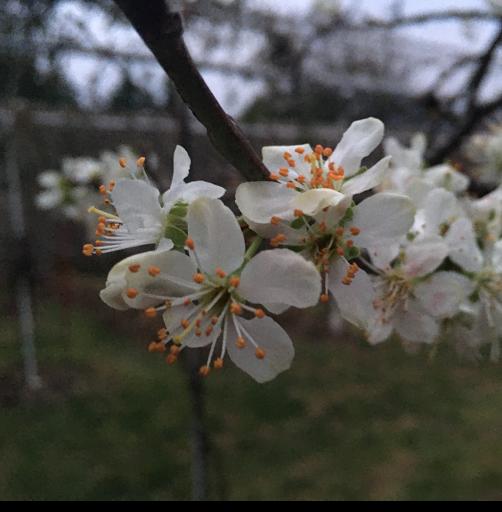 fleurs antares