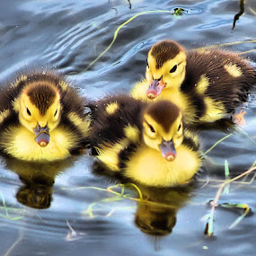 Three Baby Muscovy by Terry Davey - Animals Birds ( babies, mucovy )