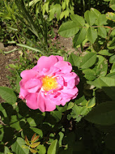 Photo: Wild rose: Rosa acicularis Wild Rose flowers are large, pink and fragrant. Europeans utilized hips as a source of Vitamins A and C. Rose hip powder was used as a flavoring in soups and for making syrup. Wild rose can be found throughout the northern United States.