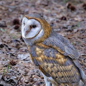 Barn Owl-1-3.jpg