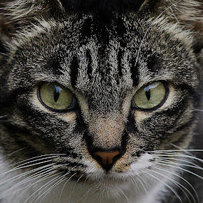 Eye Contact by Mohd Norsabree Sailan - Animals - Cats Portraits ( cats, feel, cat's eye, pets, animal )