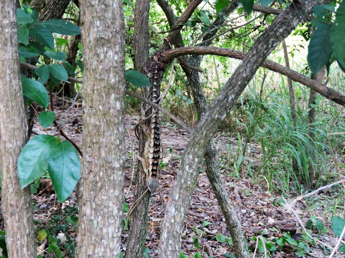Mesquite Lizard