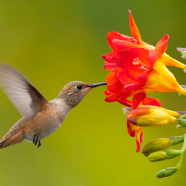 Lunch on air by Dan Pham - Animals Birds ( humming bird, feeding, flying, flower,  )