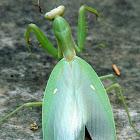 African mantis / Αλογάκι της Παναγίας