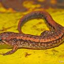 Allegheny Mountain Dusky Salamander