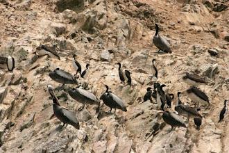 Photo: Pélicans, cormorans