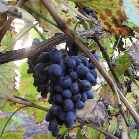 grape by Gordana Djokic - Nature Up Close Gardens & Produce ( detail, nature, grape, fruite, close )