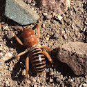 Jerusalem cricket. Also known locally as Child of the earth, or niño de la tierra.