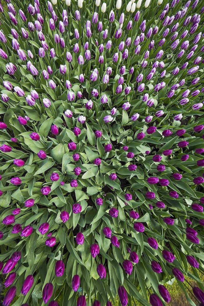 Tulipanomania di Claudio Tenca