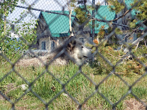 Photo: A white wolf