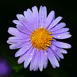 Magnificence de l'aster by Gérard CHATENET - Flowers Single Flower