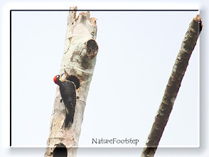 Photo: Black-cheeked Woodpecker - Melanerpes pucherani, male NF Photo 110128 at Gavilan Lodge, Costa RIca  http://nfcrbird.blogspot.com/2011/02/black-cheeked-woodpecker-melanerpes.html