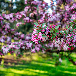 by Thomas Lane - Flowers Tree Blossoms (  )