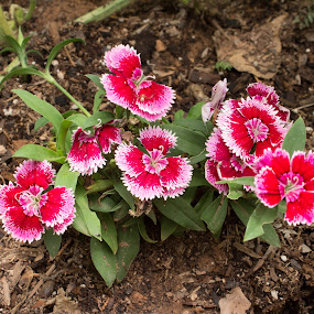 by Mathan Tenney - Flowers Flower Gardens ( red, white, pink, flowers,  )