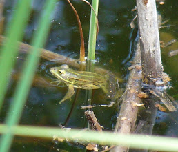 Photo: Pelophylax sp [id: grazie a Igor Festari]