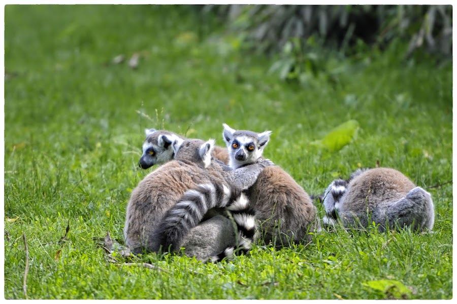 The Meeting by Veronique Aubois-Mann - Animals Other Mammals ( details, textures, fur, rings, ring tailed, lemur, stripes, tail, coat, eyes )