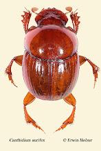 Photo: Canthidium aurifex, 4,5 mm, Costa Rica, Corcovado NP, Sirena (08°28´/-83°35´), leg. Erwin Holzer, det. Angel Solis