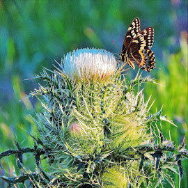 butterfly on thistle by Mary Gallo - Digital Art Animals ( digital photography, green, blue, nature, butterfly, thistle, nature up close, digital art,  )