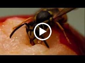 Video: Film. A darázs táplálkozik. :)