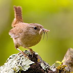 Gotcha ! by Pascal Bénard - Animals Birds ( bird, spider,  )