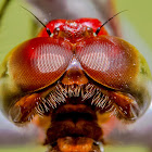 Straight-edged Red Parasol Dragonfly