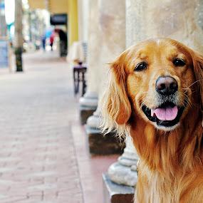 Hurley Downtown by Lauri Andrews - Animals - Dogs Portraits ( retriever, daytona beach, urban dog shoot, dog, golden retriever )