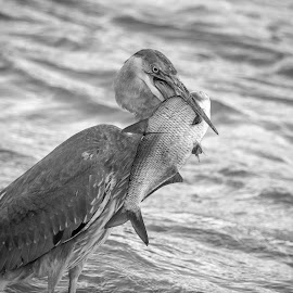 Great Blue Heron with a fish by Debbie Quick - Black & White Animals ( great blue heron, debbie quick, nature, debs creative images, water, waterfowl, conowingo dam, outdoors, fish, susquehanna river, animal, black and white, heron, wild, wildlife )