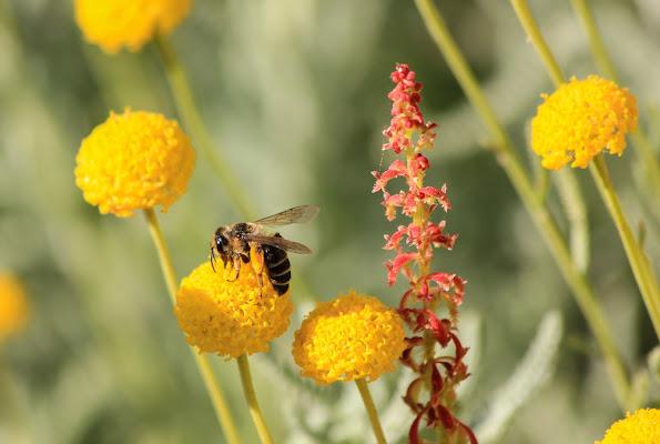 L'ape di Tefnut_Simo