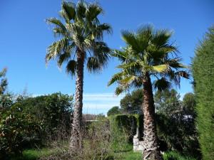 Washingtonia Robusta & Filifera (traitement possible, mais jugé inutile pour l'instant, car il y a très peu d'infestations constatées dans le pays Vençois pour ces palmiers.)
