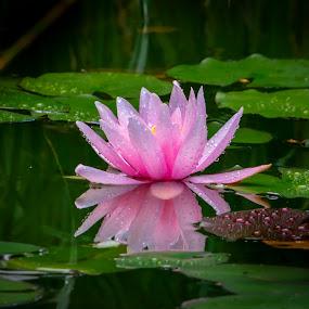 Morning of the Nymphaea by Marina Denisenko - Flowers Single Flower ( macro, flowers, water lilies, waterlily, lotus, nymphaea )
