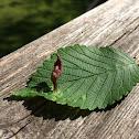 'Pouch' Leaf-Gall On Elm Leaf