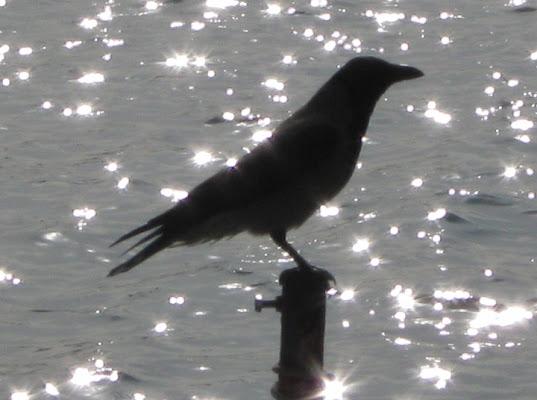 Il corvo. di sole62
