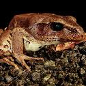 Barred Frog