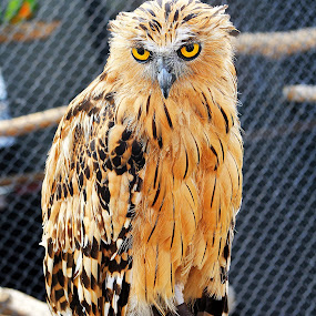 the owl by Dhannie Setiawan - Animals Birds ( look, bird, orange, owl, yellow, eyes )