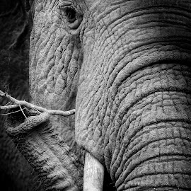 African Giant by Pierre Vee - Black & White Animals