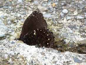 Photo: PRONOPHILA SATYR--steremnia pronophila -GUACAMAYOS RIDGE, NAPO